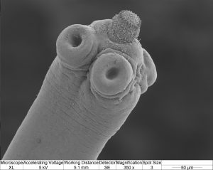 A close up of a tapeworm