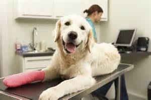 dog at vet, injury